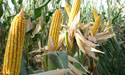 Hybrid Corn at Zeeshan Farm